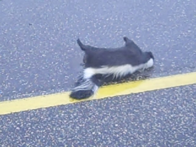 dead skunk in the road